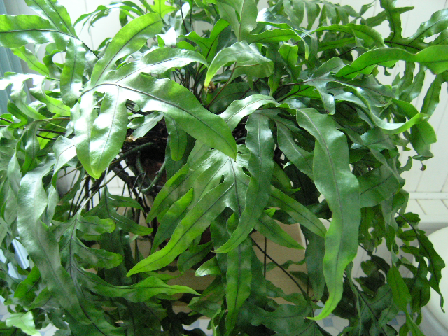 Fernatic Free Fr Phymatosorus Scolopendria